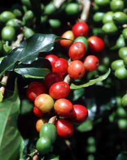 coffee - fresh from the plantation to you